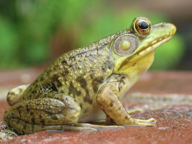 frog-1361835-640x480